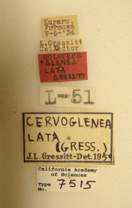 Image of Glenea lata