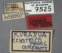 Kurarua constrictipennis image
