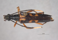 Leptura ochraceoventra image