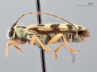 Image of Menesia subcarinata