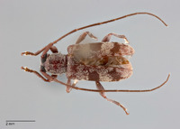 Miaenia laterimaculata image