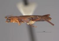 Image of Microdebilissa serratipenne