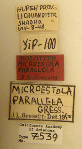Microestola parallela image