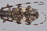 Image of Monochamus fascioguttatus