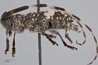 Monochamus fascioguttatus image
