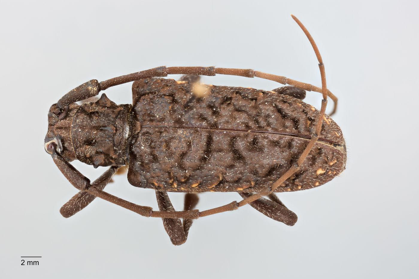 Monochamus flocculatus image