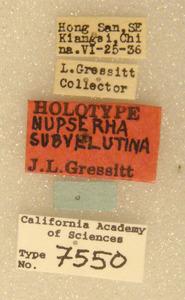 Image of Nupserha subvelutina