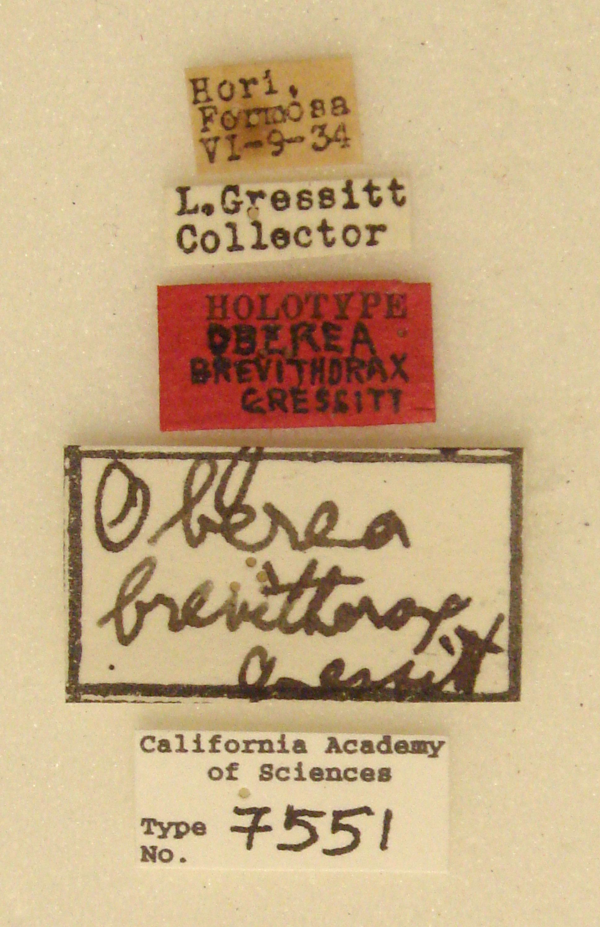 Oberea brevithorax image