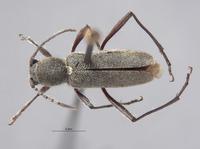 Perissus griseus image