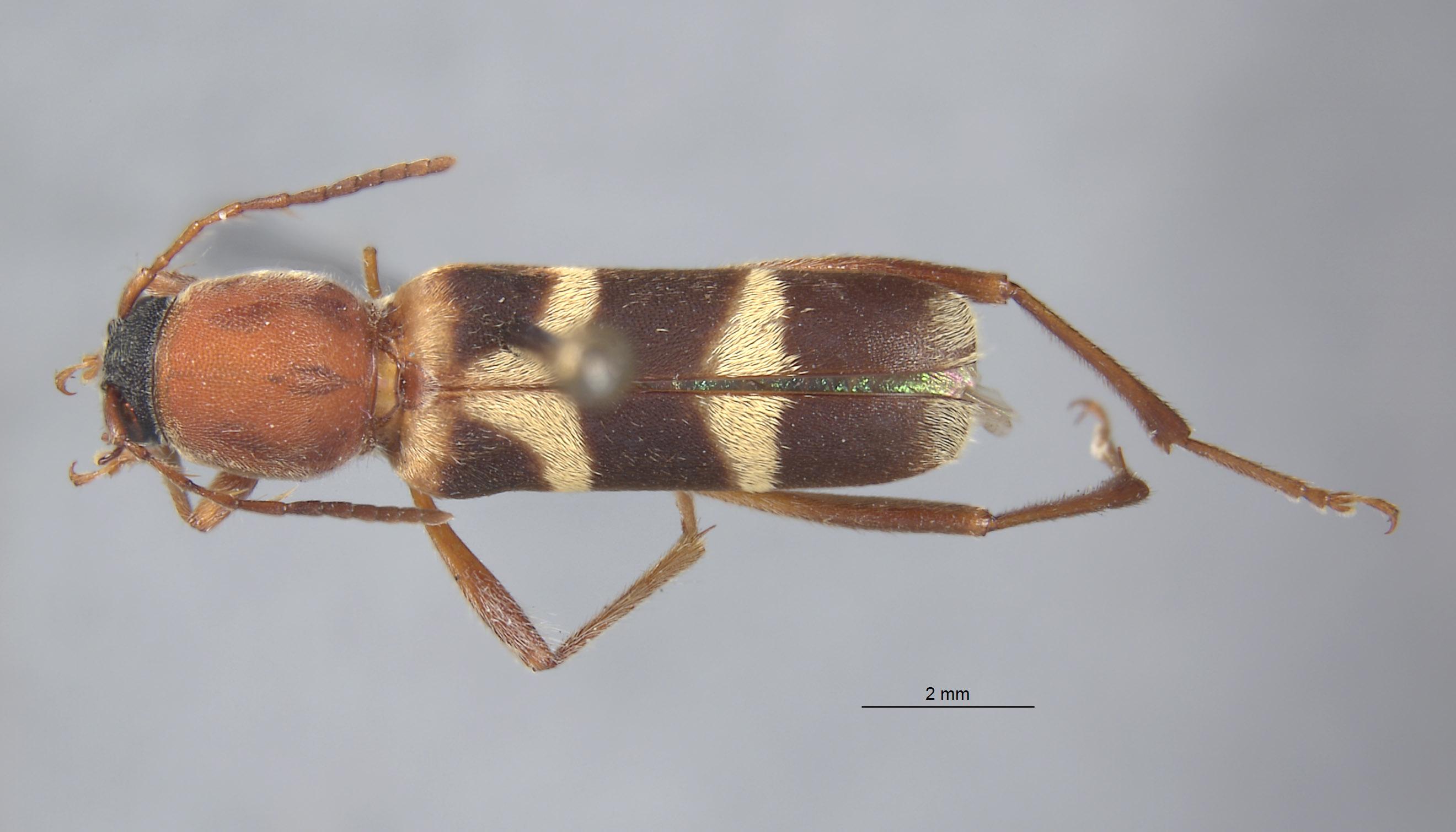 Perissus rubricollis image