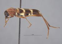 Image of Perissus rubricollis