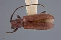 Pseudanaesthetis seticornis image