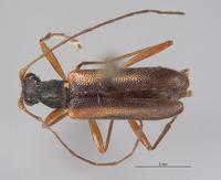 Pseudopidonia subaeneus image
