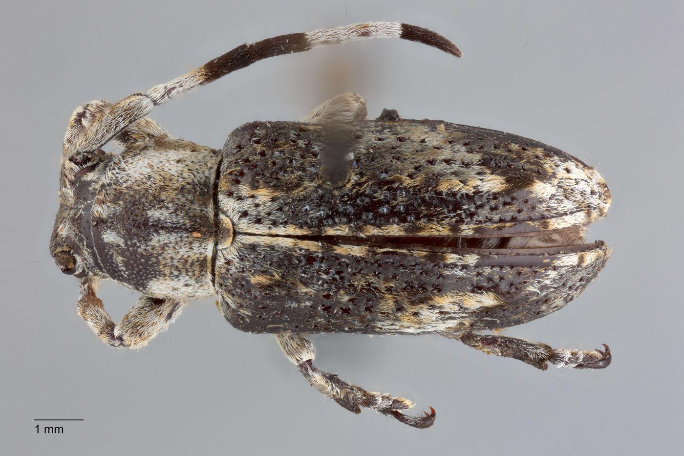 Pterolophia albonigra image