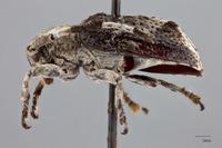 Image of Pterolophia albonigra