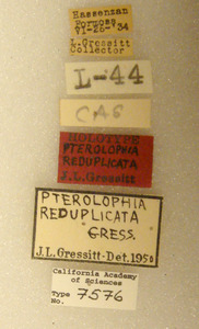 Pterolophia reduplicata image