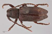 Image of Pterolophia serricornis