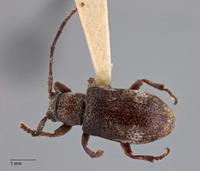 Image of Pterolophia suisapana
