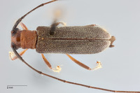 Image of Serixia griseipenne