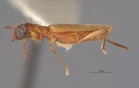 Stenhomalus pallidus image