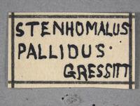 Image of Stenhomalus pallidus