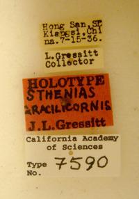 Image of Sthenias gracilicornis