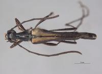 Strangalina angustissima image
