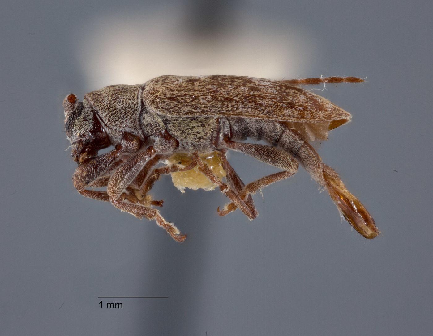 Sybra breuningi image