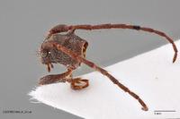 Tinkhamia hamulata image