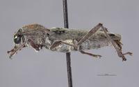Xylotrechus rufonotatus image