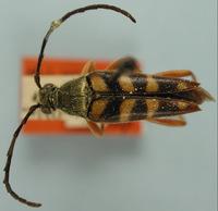 Image of Typocerus oklahomensis