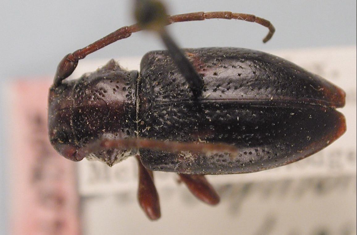 Acanthoderes peritapnioides image
