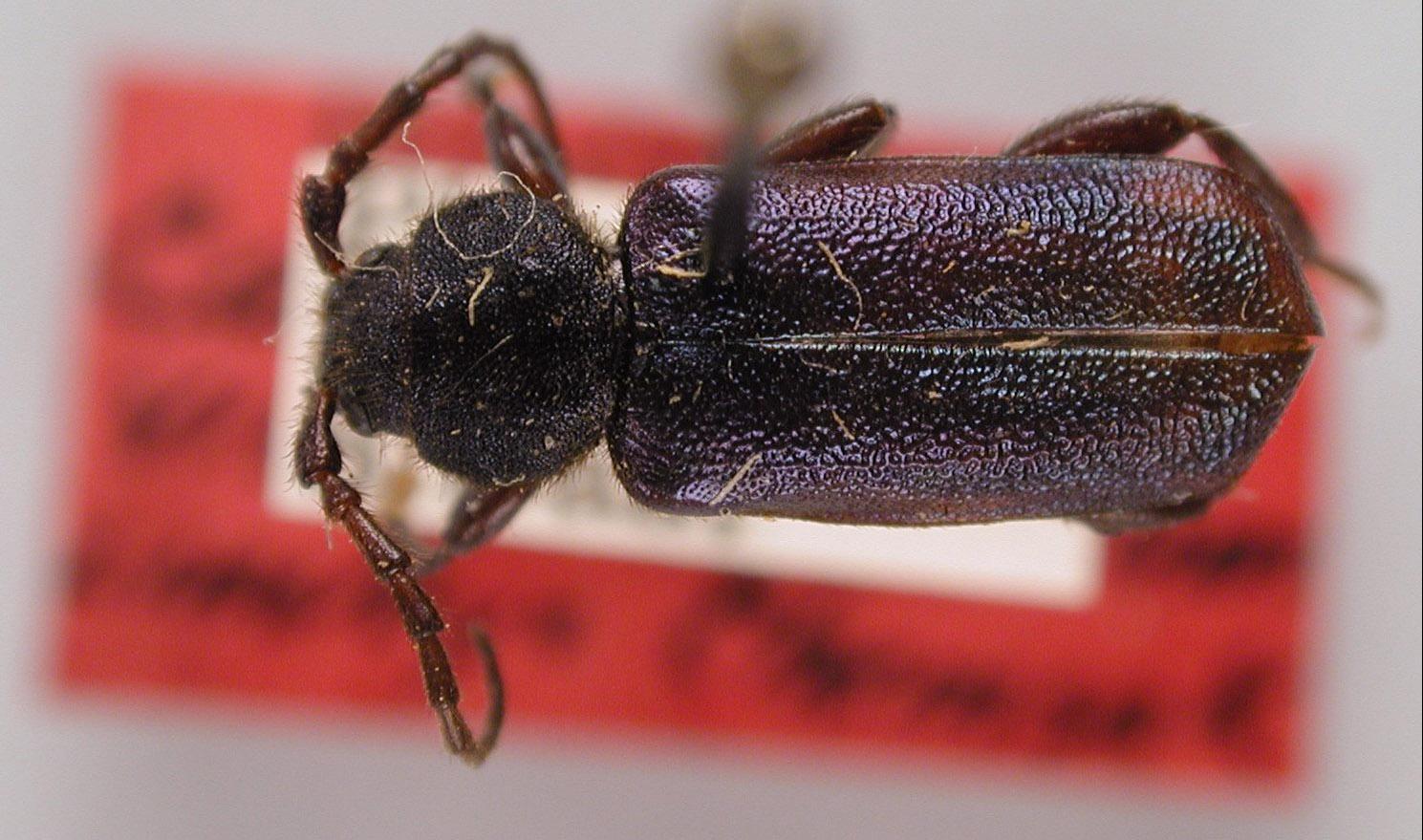 Callidium viridiocyaneum image