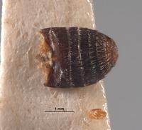Image of Eutrichopleurus equalis