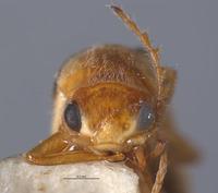 Image of Ebaeus nigerianus