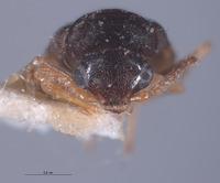 Image of Lobatomixis apicetestaceus