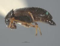 Image of Lobatomixis niger