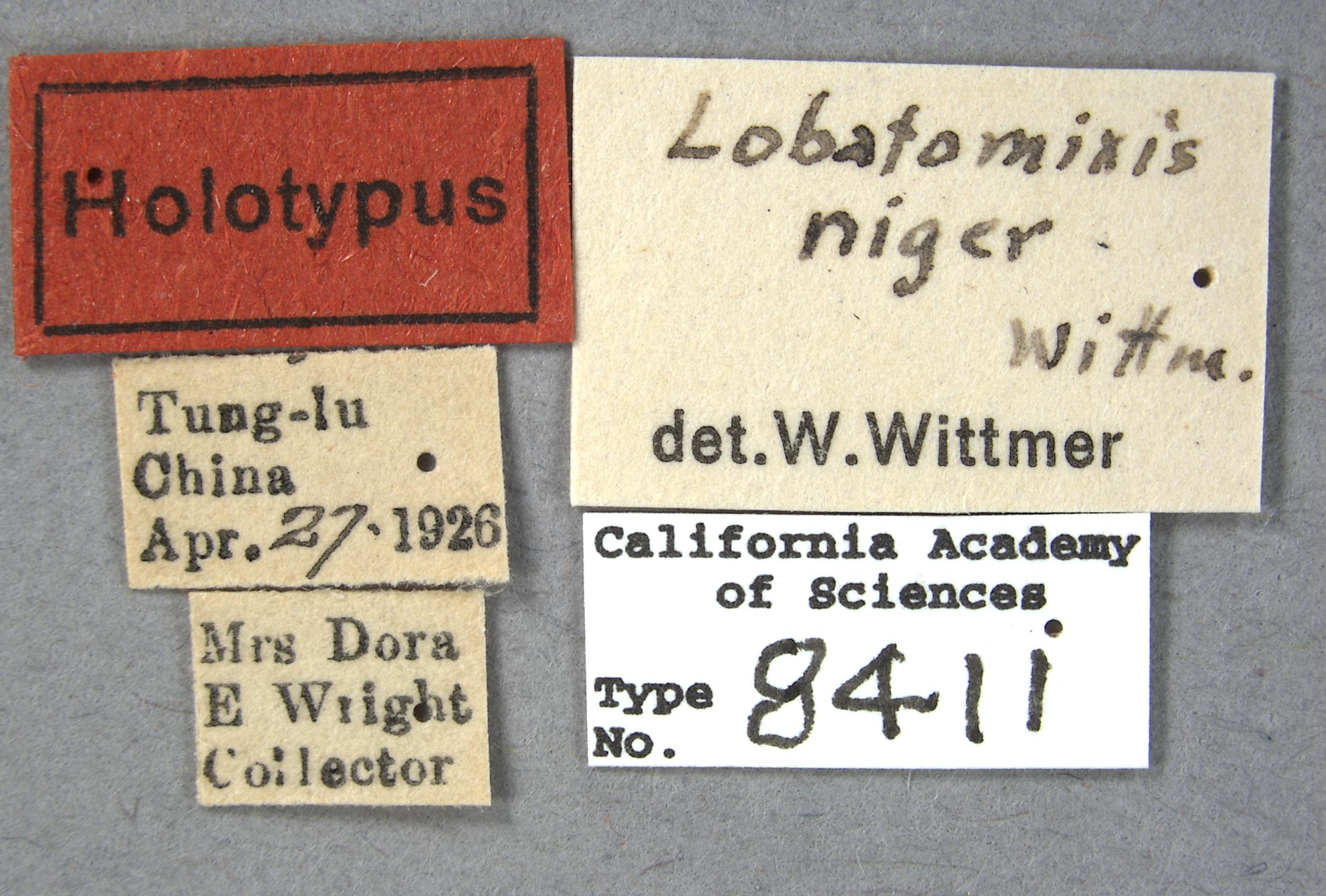Lobatomixis niger image