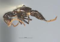 Luzonotroglops strigilatus image