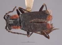 Image of Malachius fissipennis