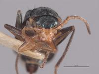 Image of Malachius vandykei