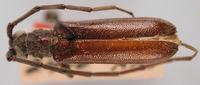 Image of Amphelictus castaneus