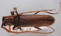 Image of Amphelictus cribripennis