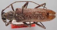 Image of Aneflus humeralis