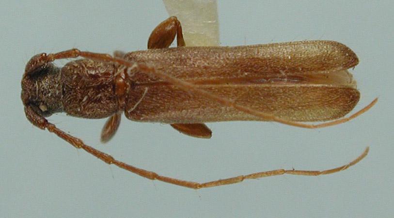 Haplidus parvulus image