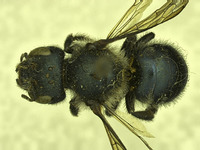 Image of Osmia mixta
