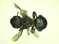 Image of Osmia sequoiae