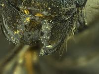 Image of Osmia tokopahensis