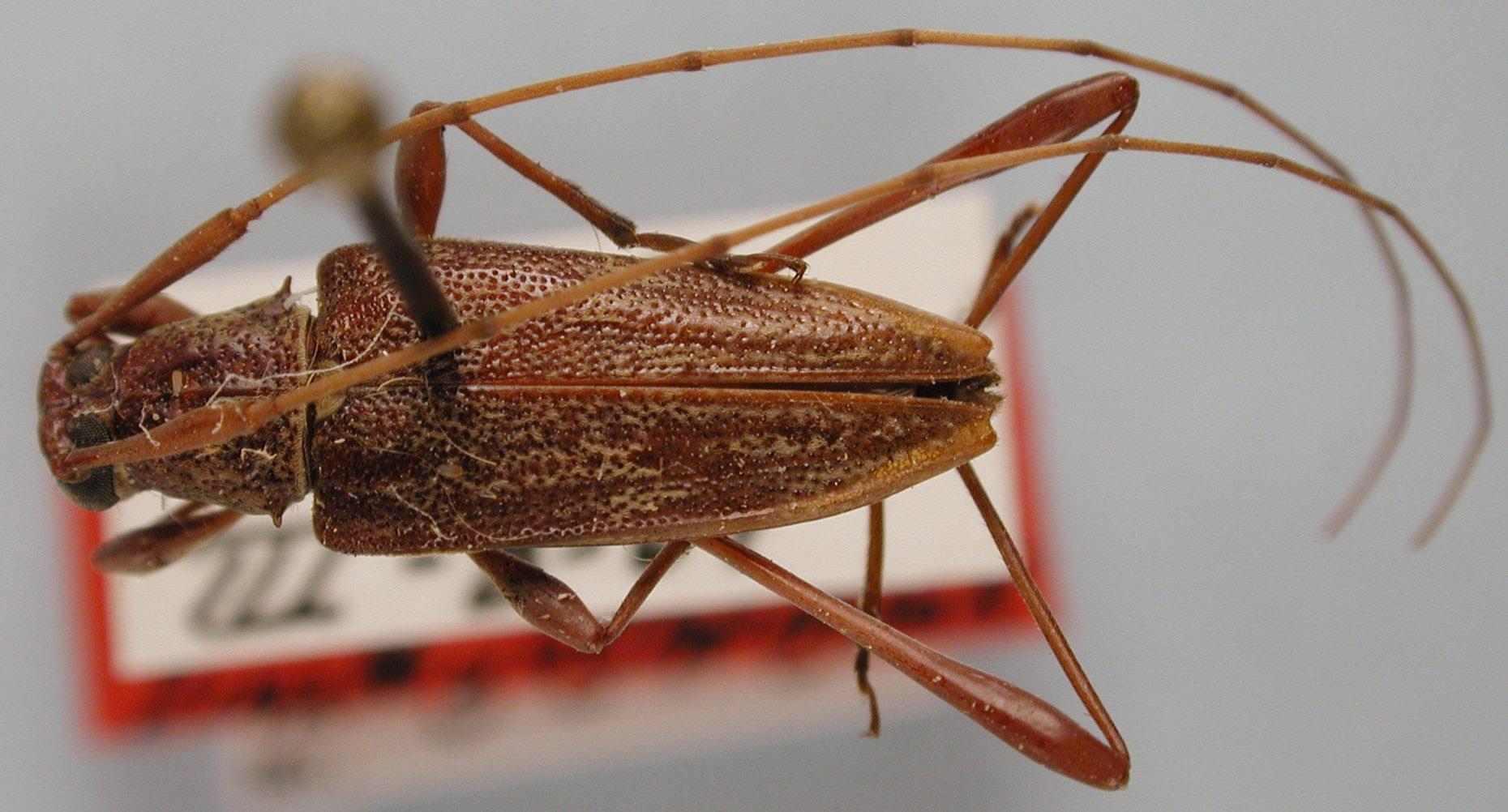 Anisopodus longipes image