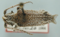 Image of Desmiphora maculosa